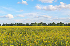 Giacimento e cielo blu gialli della colza con le nuvole leggere Immagini Stock
