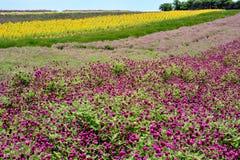Giacimento e cielo di fiore Fotografia Stock Libera da Diritti