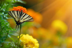 Giacimento e farfalla di fiore di erecta di tagetes fotografia stock