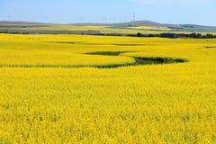Giacimento e generatori eolici di fioritura del Canola vicino all'insenatura di Pincher, Alberta fotografia stock