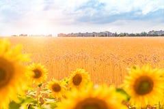 Giacimento e girasole di grano Campo di frumento Immagini Stock Libere da Diritti