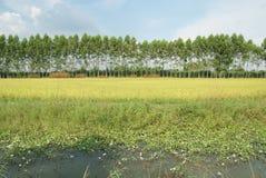 Giacimento e laguna del riso Fotografia Stock Libera da Diritti