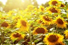 Giacimento e luce solare del girasole Fotografia Stock Libera da Diritti