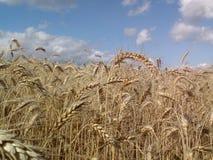 Giacimento e nuvole di grano bianchi Immagini Stock
