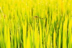 Giacimento e rugiada verdi del risone di mattina Fotografia Stock Libera da Diritti