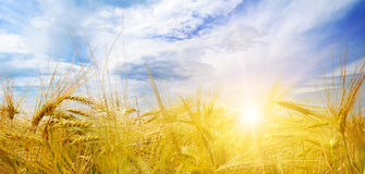 Giacimento e sole di grano in cielo blu Immagine Stock Libera da Diritti