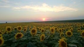 Giacimento e tramonto del girasole Fotografie Stock Libere da Diritti