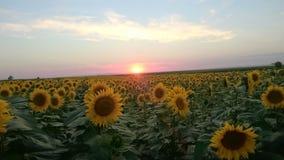 Giacimento e tramonto del girasole Fotografie Stock
