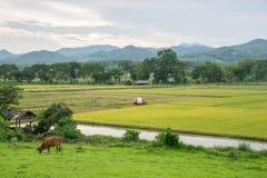 Giacimento ed agricoltura del riso Fotografia Stock Libera da Diritti