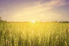 Giacimento ed alba del riso Fotografia Stock Libera da Diritti