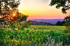 Giacimento ed albero del girasole al tramonto immagini stock libere da diritti