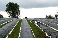Giacimento ed albero dell'asparago Fotografie Stock Libere da Diritti