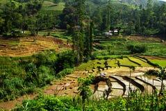 Giacimento ed azienda agricola del riso Immagine Stock Libera da Diritti