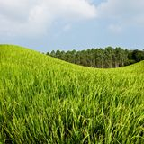 Giacimento ed azienda agricola del riso con cielo blu Immagini Stock Libere da Diritti
