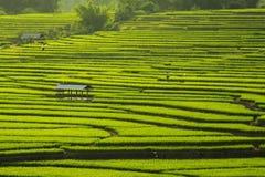 Giacimento fatto un passo del riso Fotografie Stock