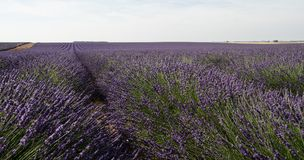 Giacimento fiorito della lavanda in Provenza Francia Fotografie Stock