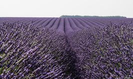 Giacimento fiorito della lavanda in Provenza Francia Fotografia Stock Libera da Diritti
