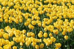 Giacimento giallo dei bulbi Fotografie Stock Libere da Diritti