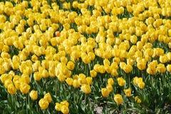 Giacimento giallo dei bulbi Fotografia Stock