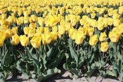 Giacimento giallo dei bulbi Immagine Stock Libera da Diritti