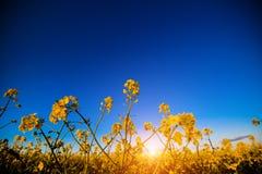 Giacimento giallo del canola al sole Posto rurale di posizione dell'Ucraina, Europa Fiori delle violenze Fondo stagionale fresco  immagini stock