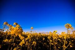 Giacimento giallo del canola al sole Posto rurale di posizione dell'Ucraina, Europa Fiori delle violenze Fondo stagionale fresco  fotografie stock libere da diritti