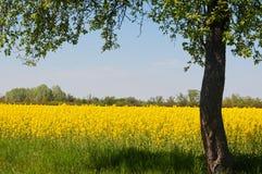 Giacimento giallo del canola con l'albero nella destra dell'immagine Immagini Stock Libere da Diritti