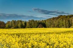 Giacimento giallo del colza oleifero Fotografia Stock Libera da Diritti