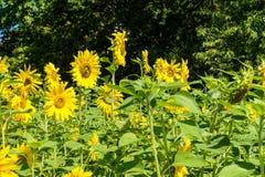 Giacimento giallo del girasole di estate Immagini Stock Libere da Diritti
