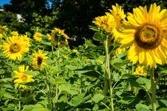 Giacimento giallo del girasole di estate Fotografia Stock Libera da Diritti