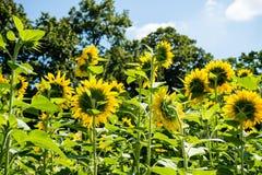 Giacimento giallo del girasole di estate Fotografia Stock