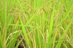 Giacimento giallo del riso Fotografia Stock
