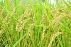Giacimento giallo del riso Fotografia Stock Libera da Diritti