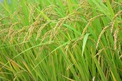 Giacimento giallo del riso Immagini Stock