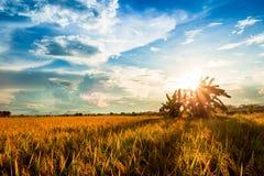 Giacimento giallo del riso al tramonto Fotografia Stock Libera da Diritti