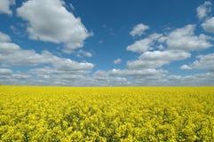Giacimento giallo del seme di ravizzone Fotografia Stock Libera da Diritti