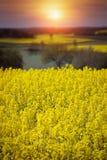 Giacimento giallo del seme di ravizzone in primavera Fotografie Stock