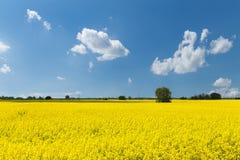 Giacimento giallo della colza con cielo blu Fotografia Stock