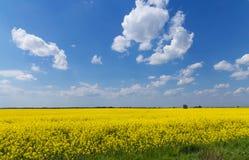 Giacimento giallo della colza con il cielo blu fantastico della molla Fotografie Stock