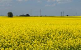 Giacimento giallo della colza con il cielo triste Immagine Stock Libera da Diritti
