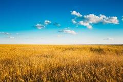 Giacimento giallo delle orecchie del grano su Sunny Sky blu fotografia stock libera da diritti