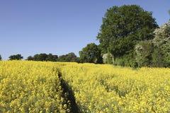 Giacimento giallo vibrante del seme di ravizzone circondato dagli alberi Fotografia Stock Libera da Diritti
