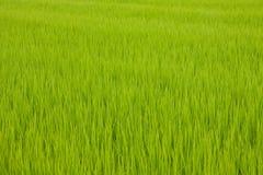 Giacimento giapponese del riso Fotografie Stock
