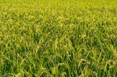 Giacimento giapponese del riso della campagna Immagine Stock