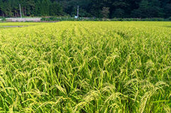 Giacimento giapponese del riso della campagna Immagine Stock Libera da Diritti