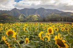 Giacimento Hawai del girasole Immagine Stock Libera da Diritti