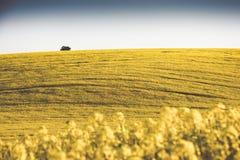 Giacimento idilliaco del canola Fotografie Stock