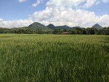 Giacimento Indonesia del riso Immagini Stock