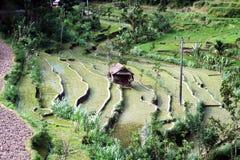 Giacimento indonesiano del riso Immagini Stock