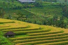 Giacimento indonesiano del riso Immagine Stock